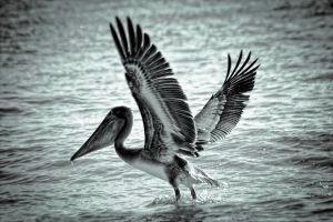 pelicano-.jpg